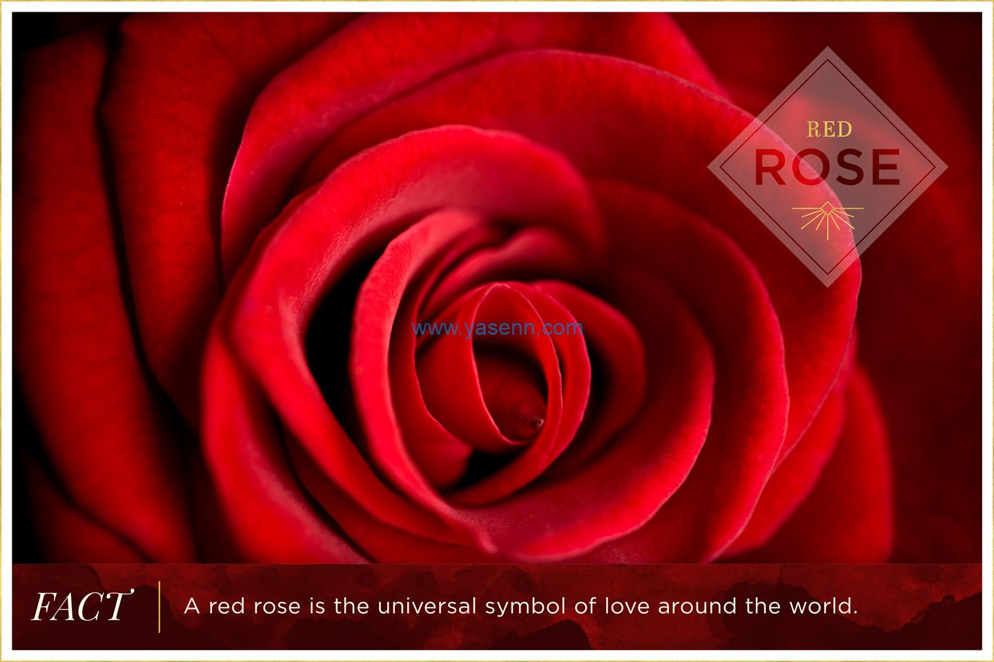Rose Color Meanings
